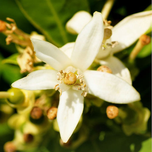 Yodeyma Květ Pomerančovníku