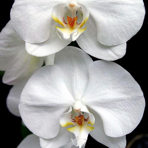 Yodeyma Orchidej